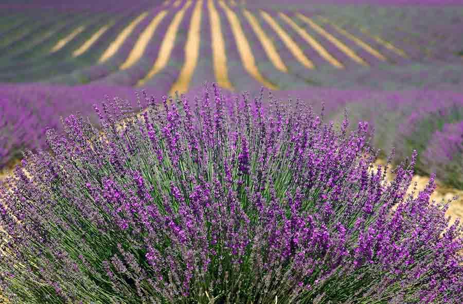 lavender-894919_1280-1